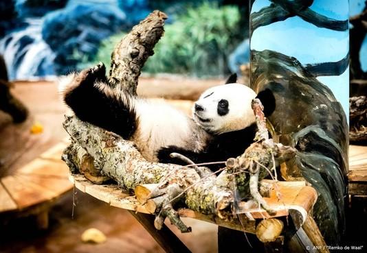 Chinezen voorlopig niet naar mogelijk zwangere panda Ouwehands