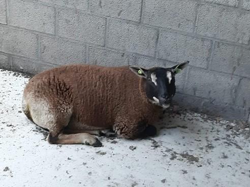 Schaap van Janco Groot gered van illegale slachting: 'Eten van gestolen dieren is gevaarlijk'