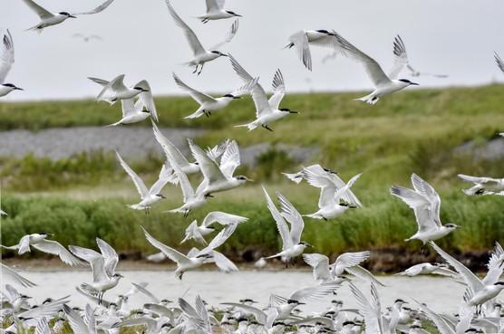 Het gaat niet goed met vis in de Waddenzee en de vogels vliegen door, maar er worden miljoenen uitgetrokken om dat te keren