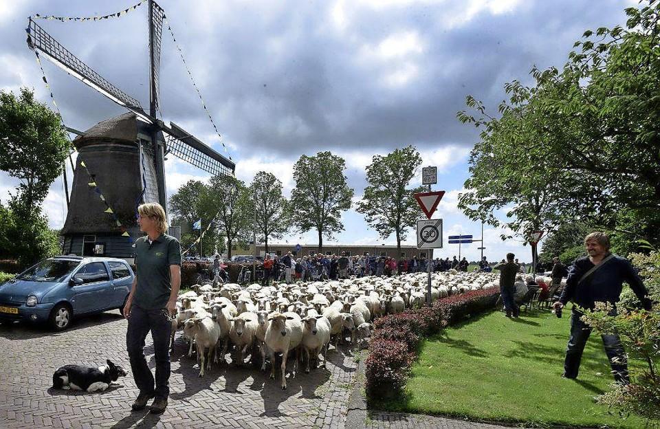 De Lastdrager als Hollands decor bij de opening van het wk schapendrijven in Hoogwouden, enkele jaren geleden.