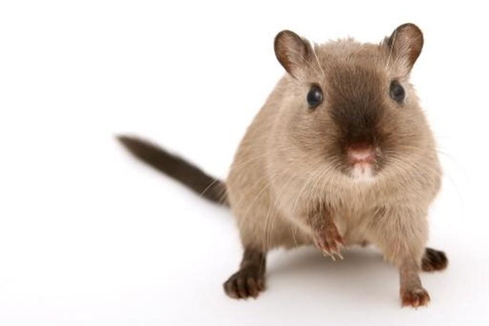 Ratten dragen de ziekte van Weil over.