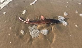 Een zeldzame haai op het strand bij Bergen aan Zee. Deze 'Jaws' kan wel 1.40 meter worden, maar gevaarlijk is-ie niet. Tenminste, dat zeggen de deskundigen
