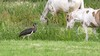 Hij bestaat écht: de zwarte ooievaar is in Baarn gespot; Komt weinig voor in Nederland; Vogelbescherming hoopt dat ze ooit ook hier gaan broeden