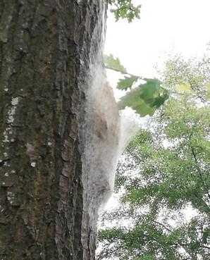 'Gemeente doet niets aan eikenprocessierups' in Zuidoostbeemster