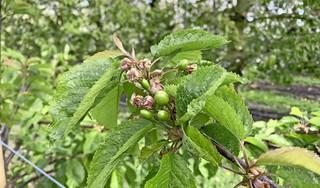 Bij Appelman is het straks nog eerder kersen eten. 600 nieuwe boompjes van de vroegste soort geplant [video]