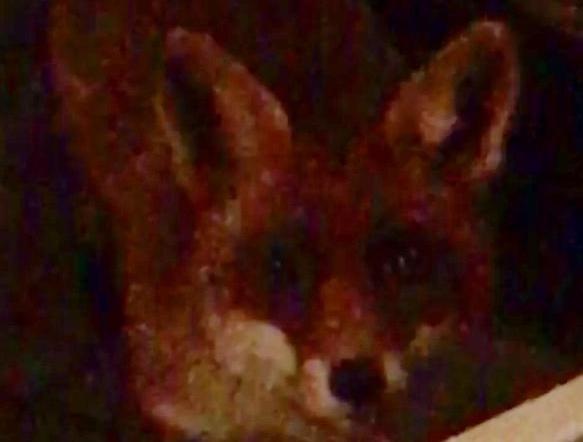 Nieuwsgierige vos half uurtje in tuin Kersenboogerd [video]