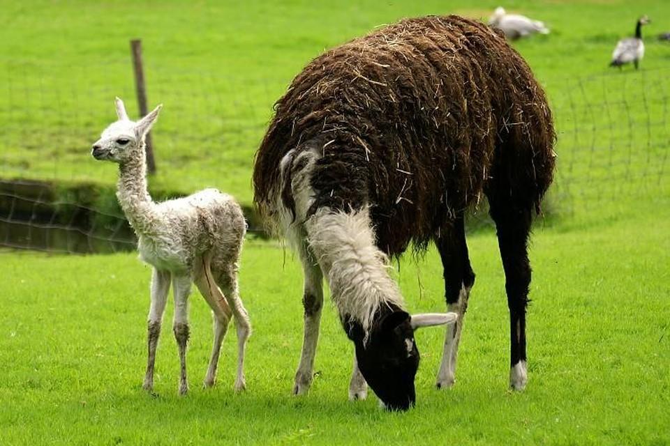 De lama's in de Hertenkamp Enkhuizen dreigen het kind van de rekening te worden.