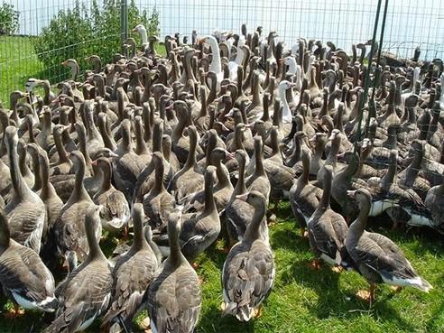 Meer vogelbotsingen op Schiphol