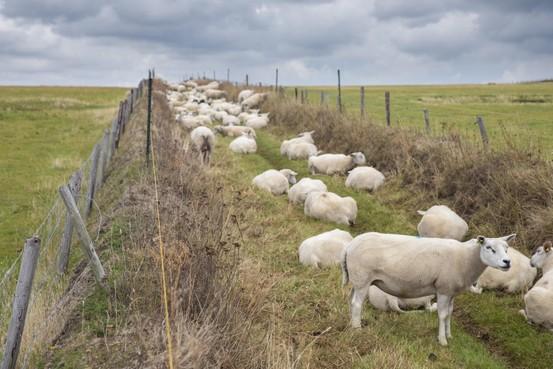 Er grazen weer schapen op de Texelse bergweggetjes, 'net als vroeger'