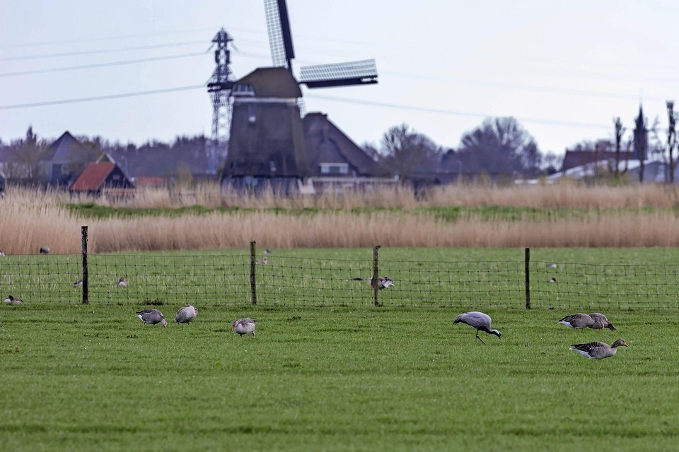 De kraanvogel pikt een graantje mee tussen een groep grauwe ganzen in de omgeving van Hensbroek.