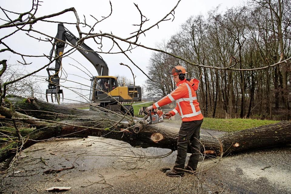 De veertig bomen die gekapt worden hebben nog maar aan één kant wortels, dat zorgt voor omvalgevaar.