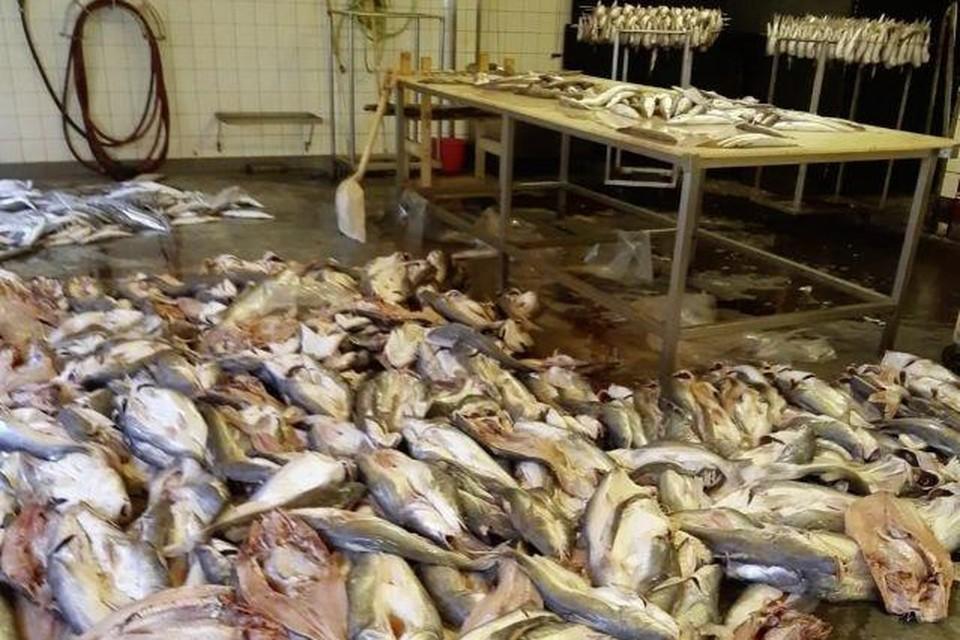 Stapels vis op de vloer van de visverwerker.