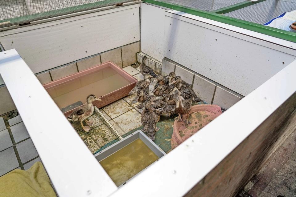 Eenden in een van de vervuilde bassins van De Paddestoel.