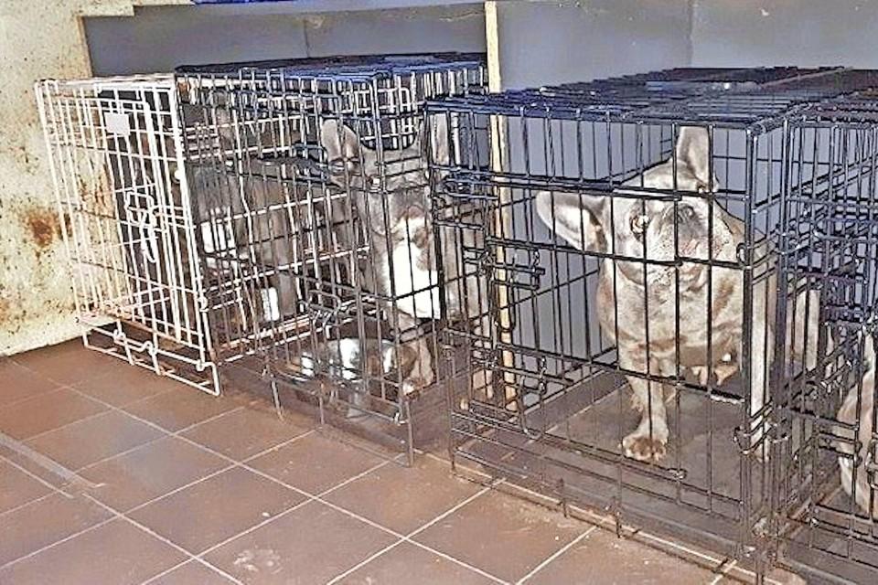 Een deel van de negen volwassen blauwe bulddogs die de politie in beslag nam bij de inval in Dirkshorn.