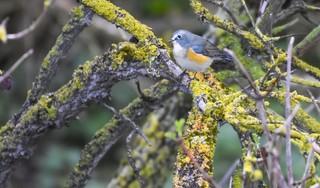 Een zeldzame blauwstaart verrast vogelaars op Texel. Dit prachtige vogeltje zou nu eigenlijk in Zuidoost-Azië moeten zitten