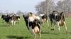 Als de koeien de paaltjes horen rammelen weten ze genoeg. Wietse Groot (14) had zijn scheikundetoets precies op tijd af om thuis in Wognum het vee voor het eerst de wei weer te zien ingaan. 'Dat blijft mooi' [video]