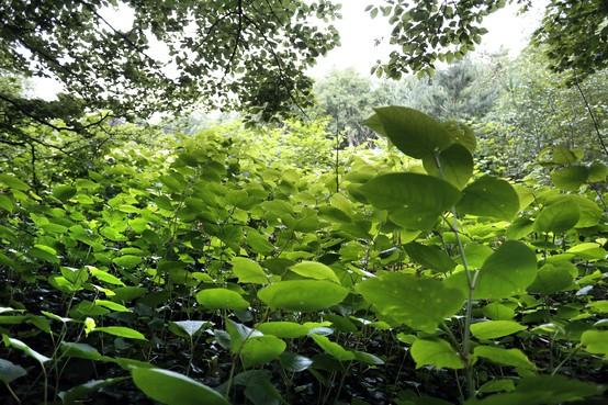 Soest zet vanaf maandag 30 september glyfosaat in bij aanpak Japanse duizendknoop