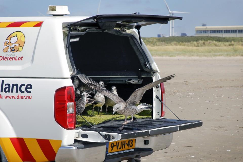 Het Vogelhospitaal Haarlem laat in augustus herstelde meeuwen los op het strand van IJmuiden.