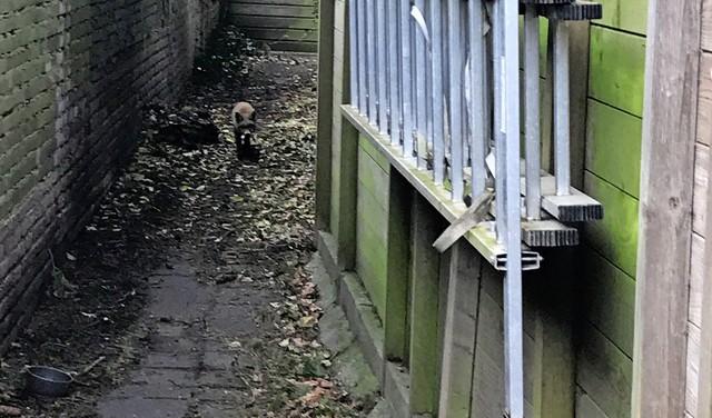 Vos loopt een rondje door centrum van Hilversum: 'Zo bijzonder, hij kwam snuffelend voorbij' [video]