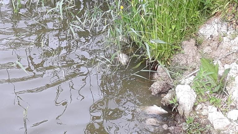 Massale vissterfte in polder Het Grootslag bij Andijk, hoogheemraadschap staat voor een raadsel: 'Mogelijk door gebrek aan zuurstof in paaitijd' [update]