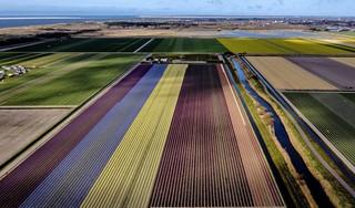 Bloeiende bollenvelden kleuren de Noordkop in geel, blauw en rood