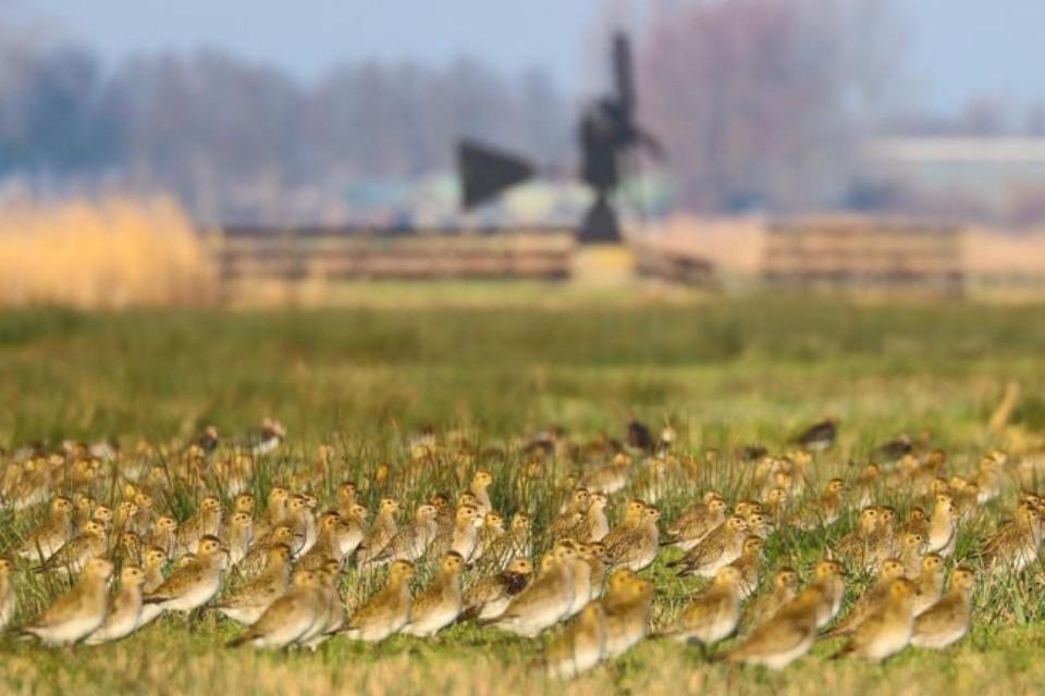 Goudplevieren in het veld bij Spijkerboor. ,,Ze broeden hier niet. Goudplevieren komen naar het Wormer- en Jisperveld om te overwinteren.