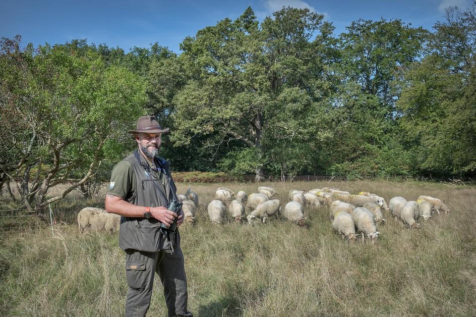 De eerste groep grazende schapen