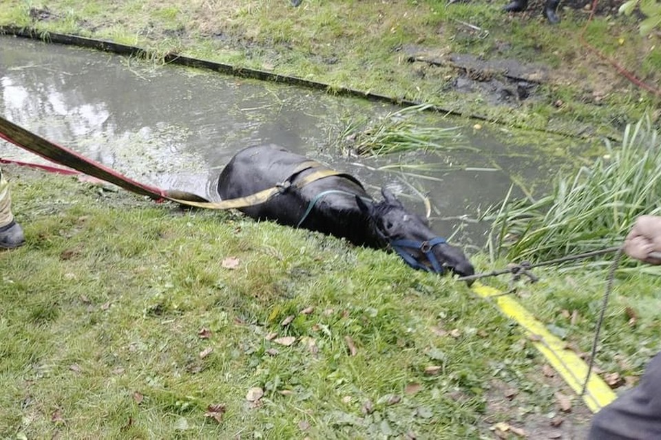 Het blijkt niet makkelijk het te water geraakte dier weer op de wal te krijgen.