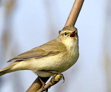 Vogels rondom Schiphol doof en agressief