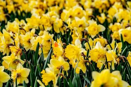 Waterland plant 50.000 bloembollen