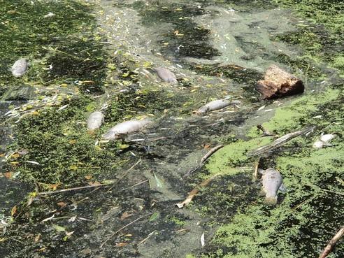 Dode vissen drijven in water van Schagen, wat is er aan de hand?