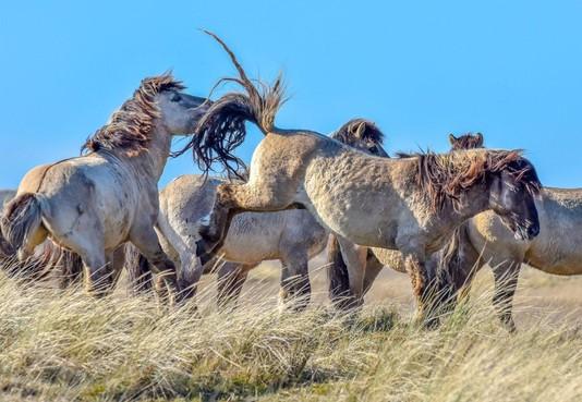 Texelse konikpaarden gaan waarschijnlijk naar de slacht: 'Hengstengroep gedraagt zich tam tegenover wandelaars' [video]