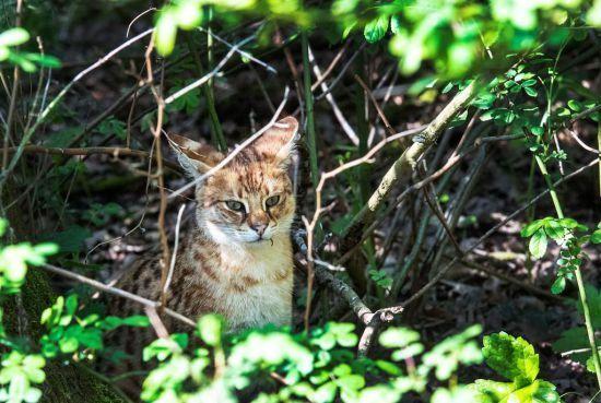 Savannah-kat Whalhallah loopt nog steeds vrij rond