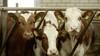 Waarschuwingsbrief en last onder dwangsom; twee veehouderijen betrapt op milieuovertredingen