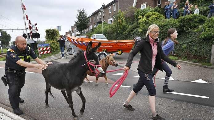 Ook dieren worden geëvacueerd in Meerssen.