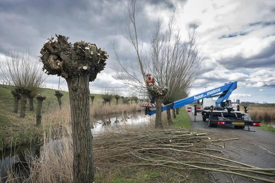 Snoei ruim honderd knotwilgen rond Spaarndam