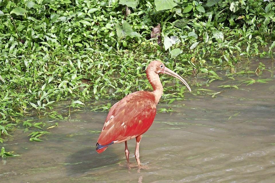 Een rode ibis.