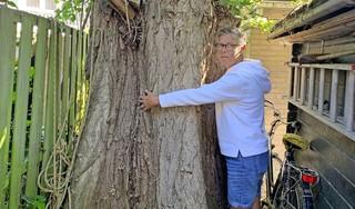 Dit is de dag die Hilversumse Alma al zeven jaar vreest. Haar markante honderd jaar oude boom wordt gekapt. De achterburen zijn bang dat hij een keer omwaait. 'Een drama, dit doet pijn' [video]