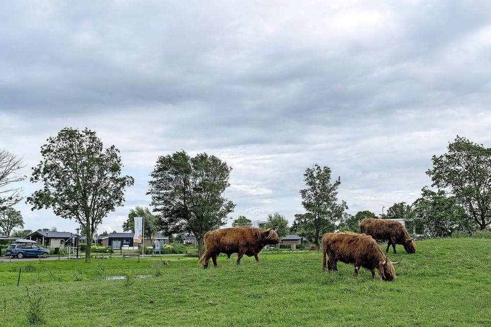 Drie van de vier Schotse Hooglanders grazend op hun veldje.