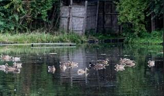 Kooiker Herman Rasch vangt nog steeds eenden in Uitgeest, niet 'voor de bout', maar voor de wetenschap