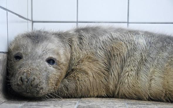 Ontmoet de pasgeboren Silver, de eerste opgevangen jonge grijze zeehond in het land dit seizoen