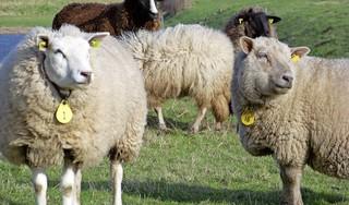 In de toekomst nog schapen rond Nauerna? Beheerders beraden zich op pachtovereenkomsten