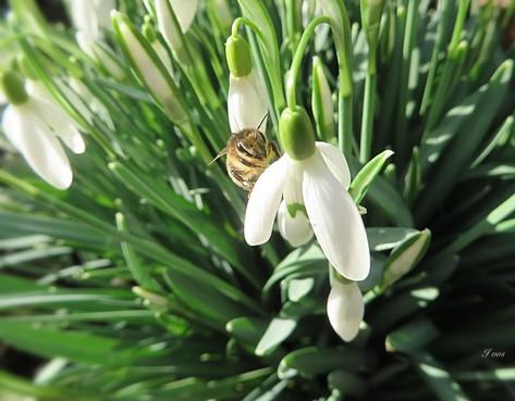 Voorjaarsgevoel: Bezige bij betrapt bij sneeuwklokjes