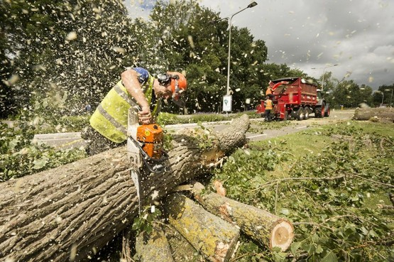 Iepziekte in Den Helder: zevenhonderd bomen gaan tegen de vlakte