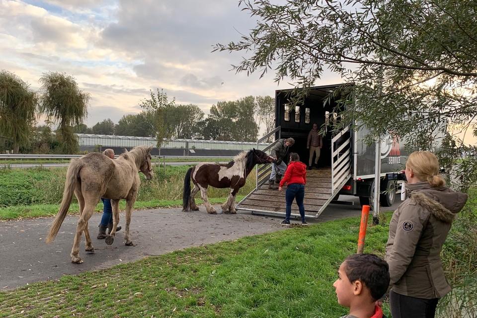 Paard voor paard: alle zestien 'lieverdjes' van de stichting Paardenhoefjes gaan met de trailer vanuit Obdam op weg naar een veilige en droge stal.