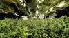 Hennepkwekerij opgerold in bedrijfspand Middenmeer; voor de kweek van 800 planten en 300 stekken werd stroom gestolen