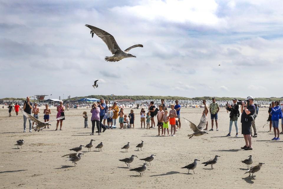 Het Vogelhospitaal Haarlem laat herstelde meeuwen los op het strand van IJmuiden.