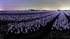 Een zeldzaam geluksmomentje voor de fotograaf: noorderlicht boven de bollenvelden bij Anna Paulowna