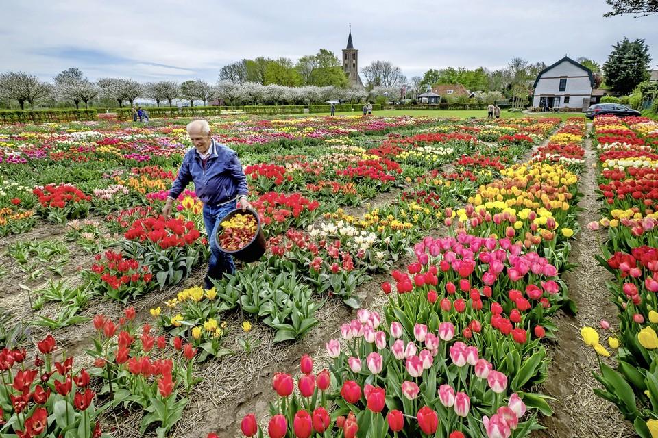De Hortus Bulborum in Limmen in volle bloei, vorig jaar.