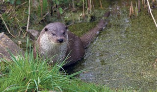 Otters mogelijk rol bij terugdringen rivierkreeft, want die lusten ze wel